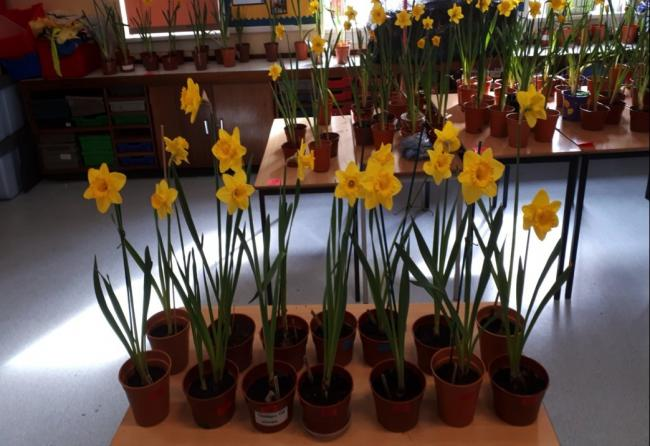 Daffodil Cup winners brightening up West Kilbride