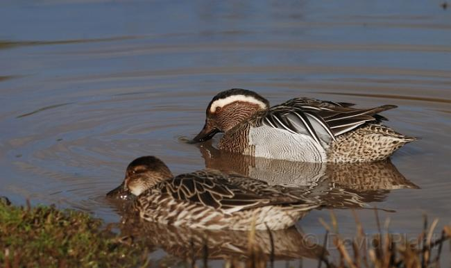 Garganey Duck Male and Female