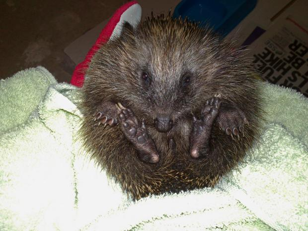 Ardrossan and Saltcoats Herald: The hedgehog that introduced Abi to Hessilhead