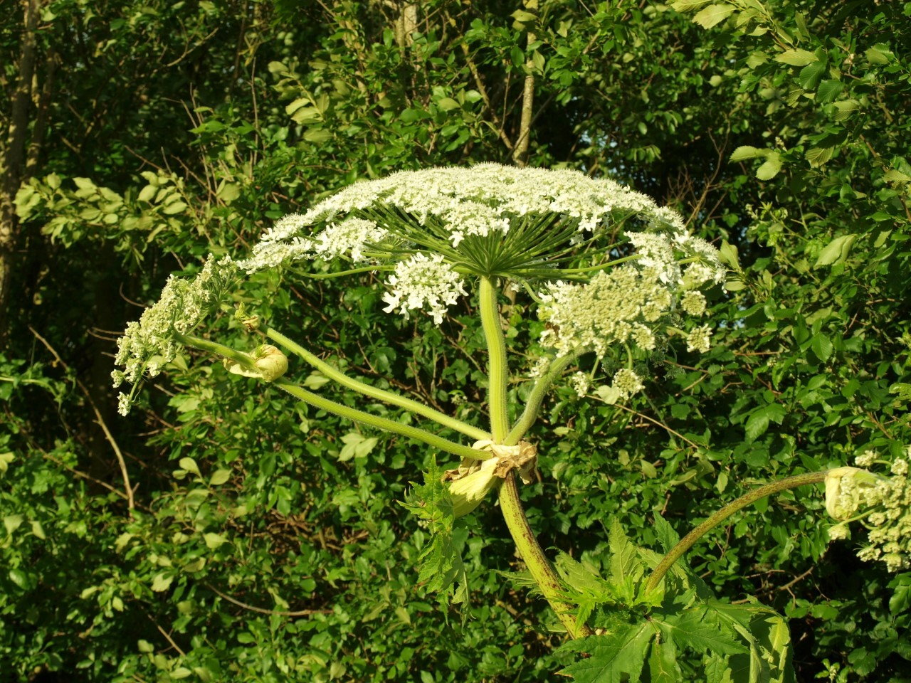 Beware of the Giant Hogweed in Ayrshire