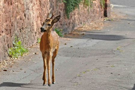 Watch out for deer on busy Ayrshire roads