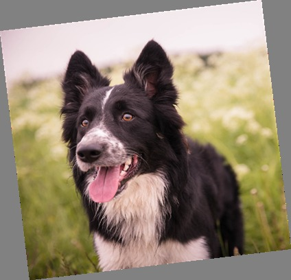 Sheep Dog Trials to take place in Portencross
