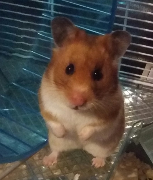 Hermione the hamster wins £300 in our Pet Idol competition
